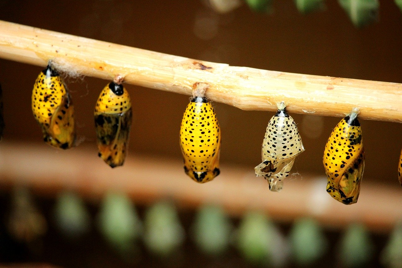 cocoon, butterfly, insect